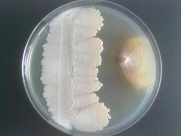 antibiose